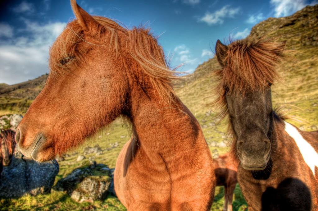 ASP_Iceland_Horses